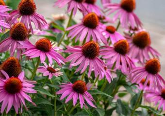 Ехінацея пурпурова підвищує імунітет